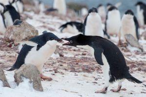 3 Adeile Penguins